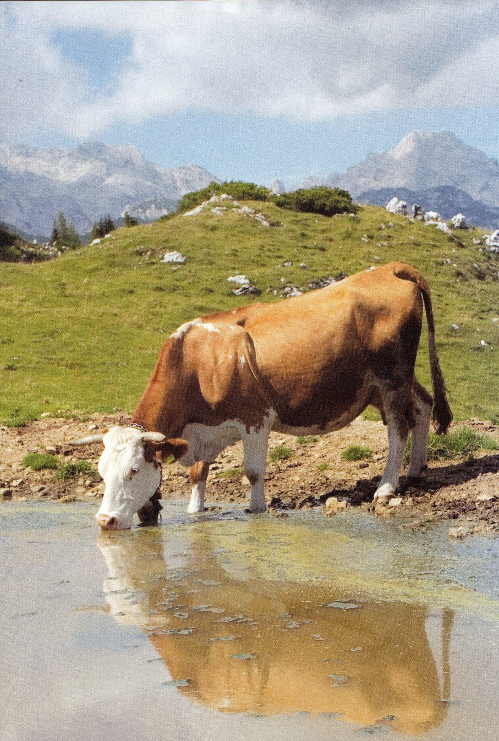 cow-drinking-water