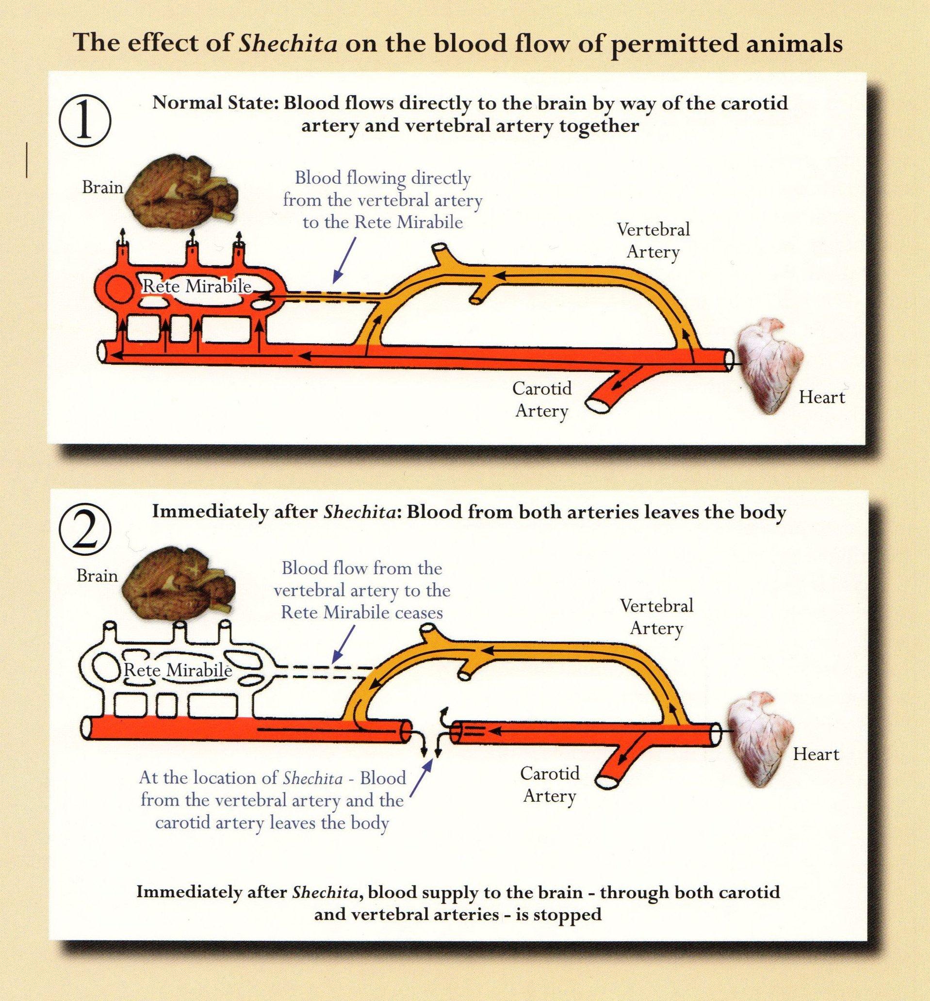 kosher-animals-blood-flow-effect